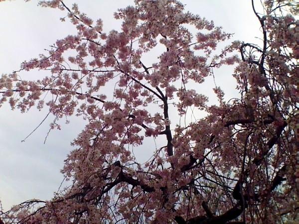 花ブ20200328-13