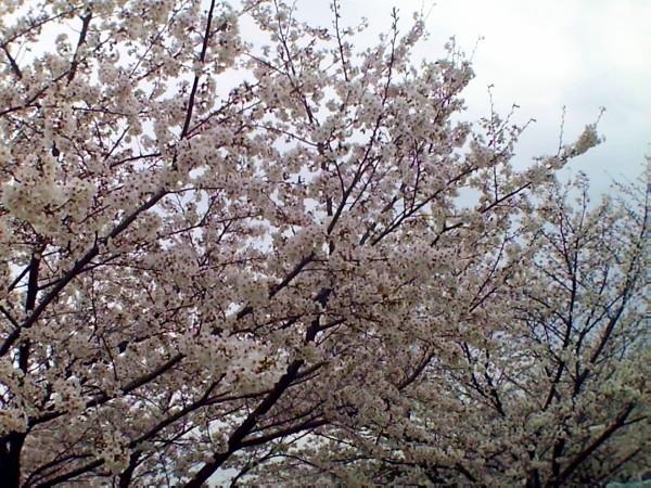 花ブ20200328-14