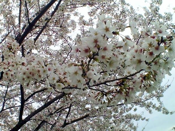 花ブ20200328-15