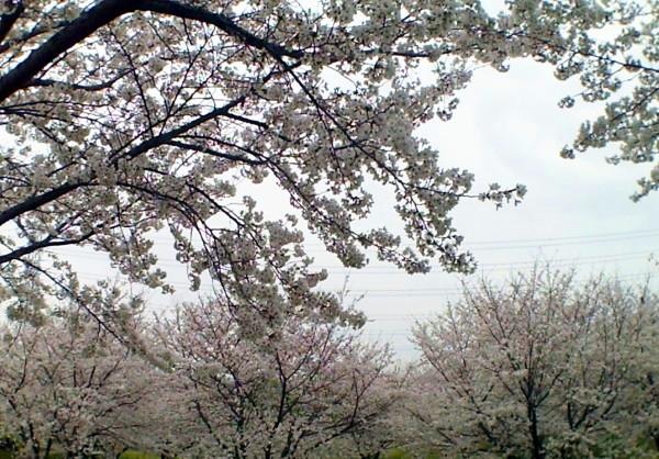 花ブ20200329-2