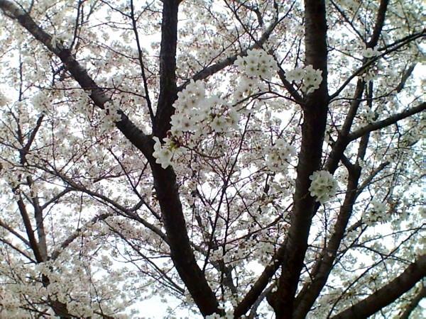 花ブ20200329-3