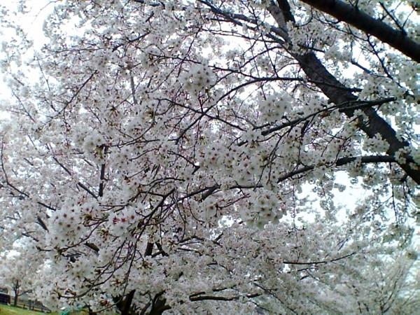花ブ20200329-4