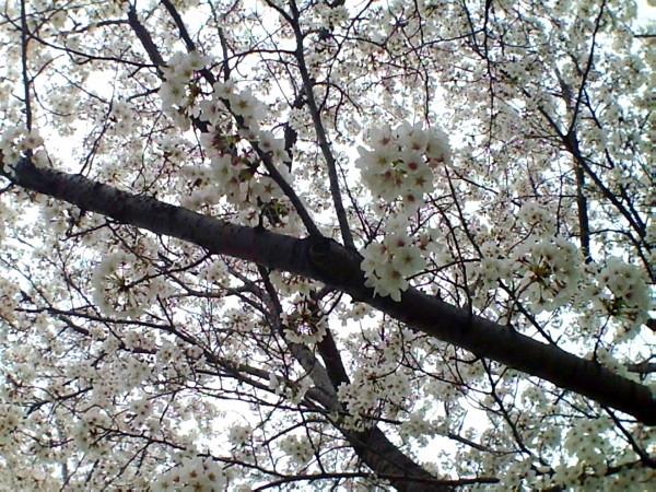花ブ20200329-5