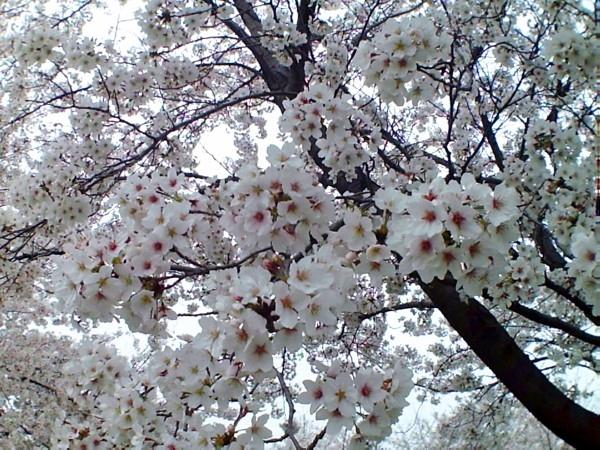 花ブ20200329-6