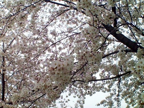 花ブ20200329-8