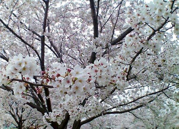 花ブ20200329-9