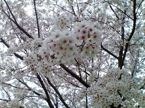 花ブ20200329-11
