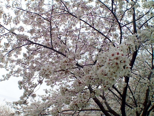 花ブ20200329-14