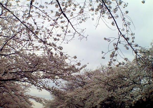花ブ20200330-8