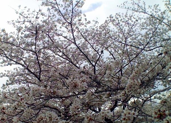 花ブ20200330-9