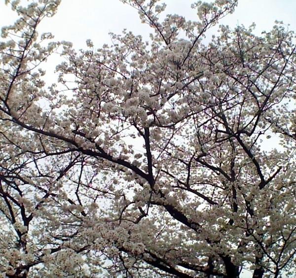 花ブ20200330-11