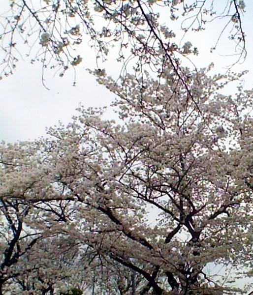 花ブ20200330-15