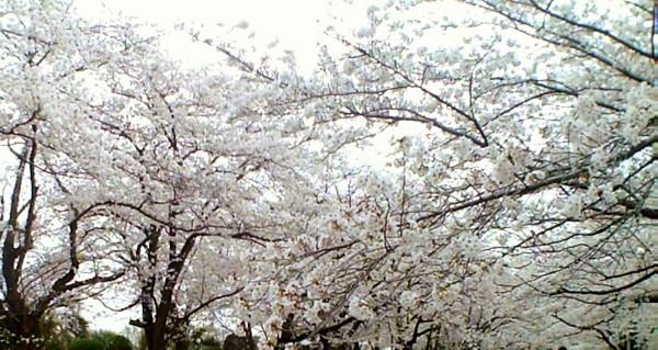 花ブ20200331-2