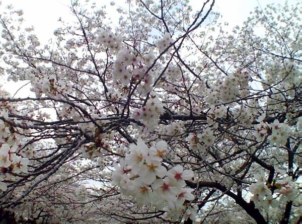 花ブ20200331-5