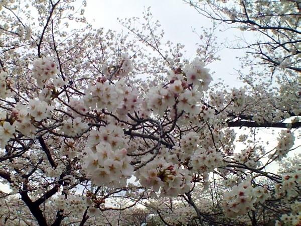 花ブ20200331-8