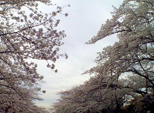 花ブ20200331-9