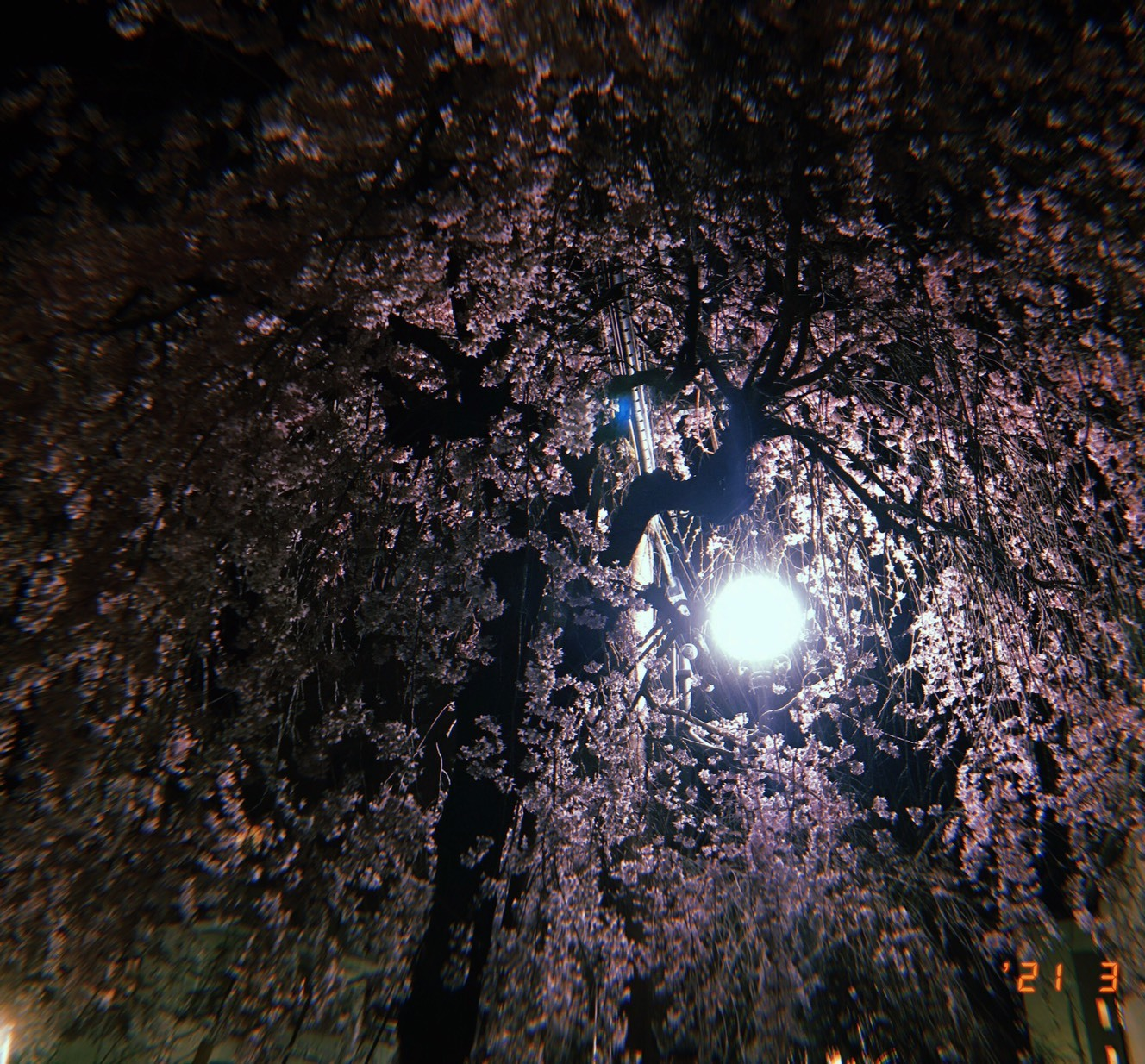 しょうがい夜桜