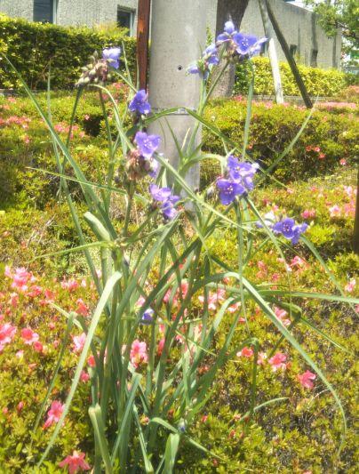 紫露草(ムラサキツユクサ) 令和2年