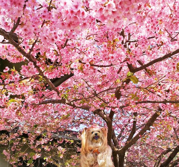 20200211河津桜祭り (2)