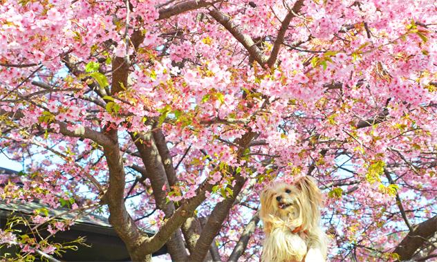 20200211河津桜祭り (3)