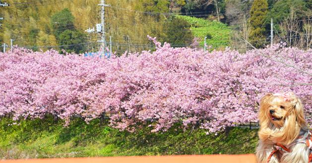 20200211河津桜祭り (4)