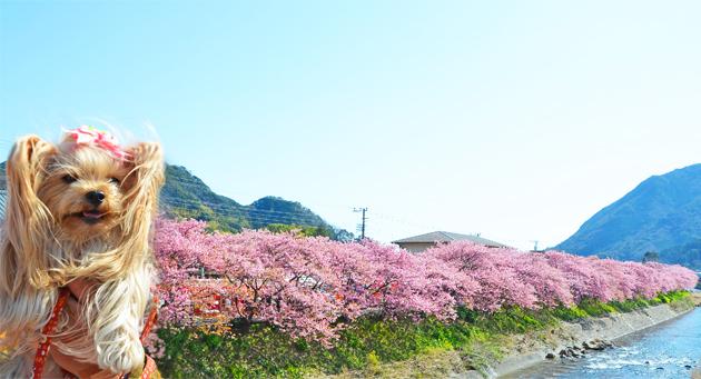 20200211河津桜祭り (5)