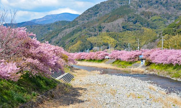 20200211河津桜祭り (7)