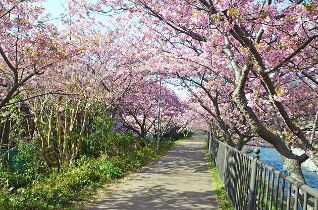 20200211河津桜祭り (10)