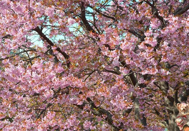20200211河津桜祭り (8)