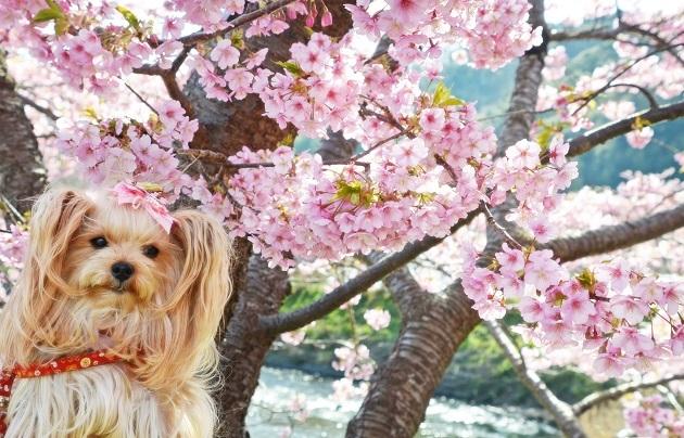 20200211河津桜祭り (11)