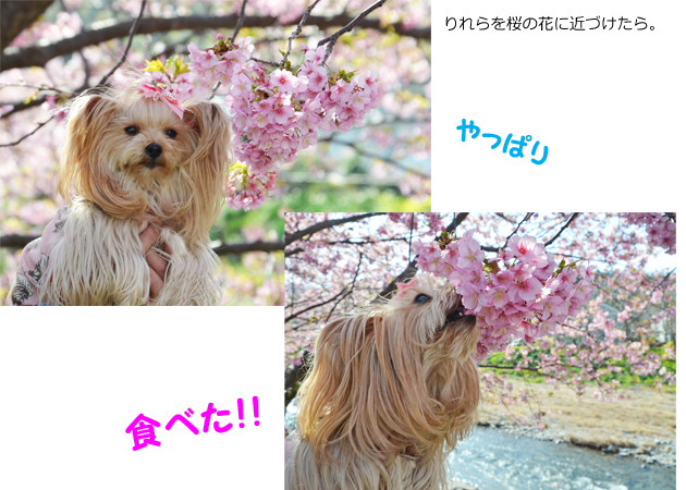 20200211河津桜祭り (12)