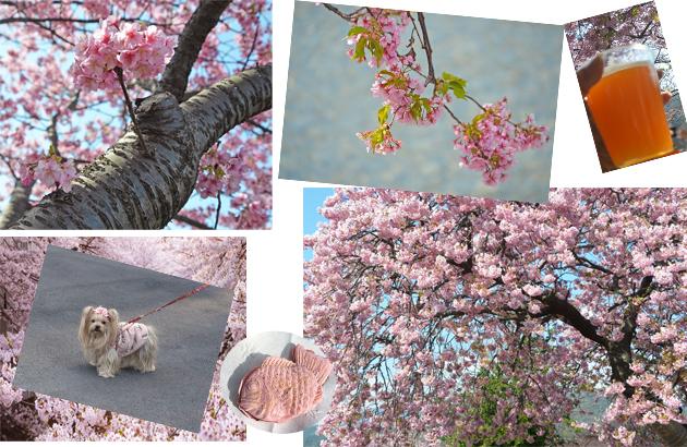 20200211河津桜祭り (15)