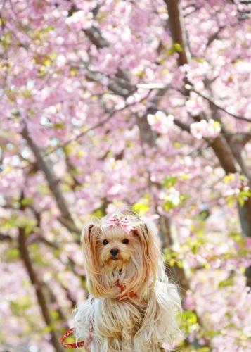 20200211河津桜祭り (24)b