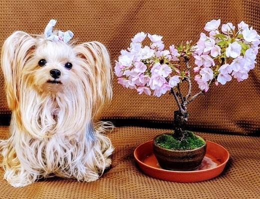 2020年04月09日一色桜と桜カレー (blos) (2)