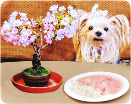 2020年04月09日一色桜と桜カレー (blos)