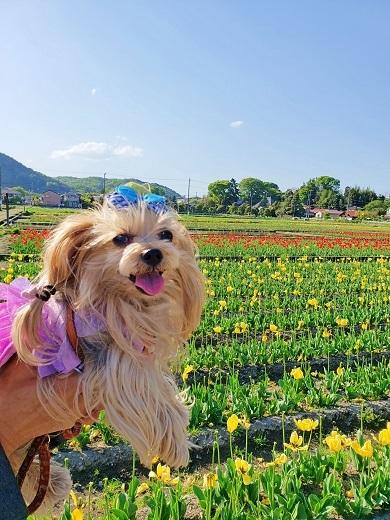 2021年04月19日羽村チューリップ祭り (7)blos