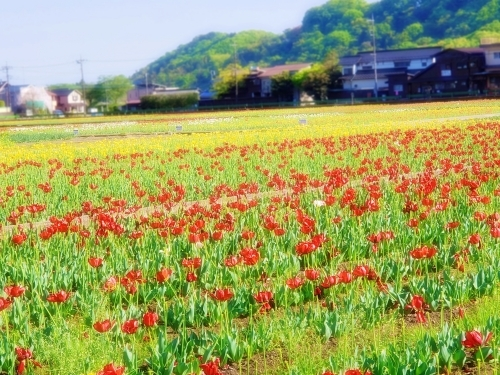 (blos)2021年04月19日羽村チューリップ祭り (16)
