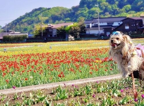 2021年04月19日羽村チューリップ祭り (9)