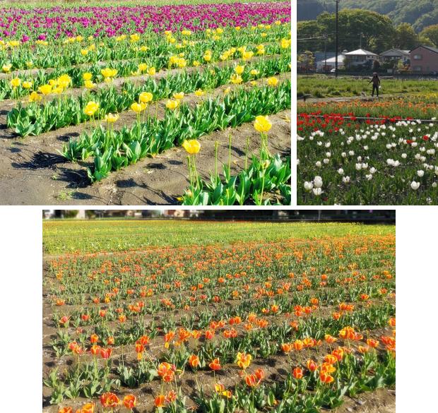(blos)2021年04月19日羽村チューリップ祭り (25)