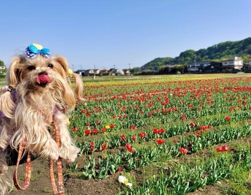 (blos)2021年04月19日羽村チューリップ祭り (11)blos