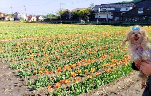 (blos)2021年04月19日羽村チューリップ祭り (18)