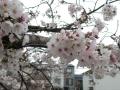桜花の理 令和二年