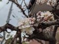 早咲の寒桜?