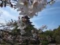 桃山城さくら2