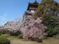 桃山城さくら3