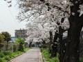 墨染桜通り
