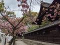 藤森神社の八重1