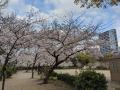 少し寂しい桜