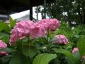 藤森神社の紫陽花苑