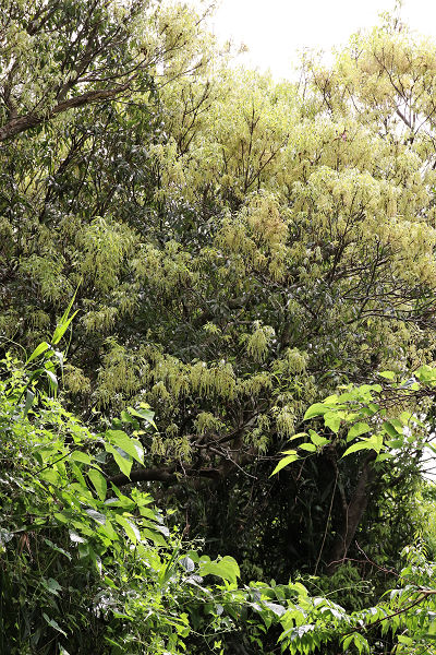 アマミアラカシ20200330-1